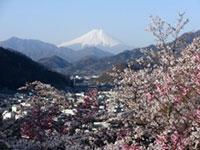 真木お伊勢山の桜