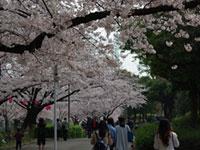 荒子川公園の桜