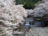 七谷川「和らぎの道」の桜