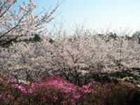 鴻ノ巣山・鴻ノ巣山運動公園の桜