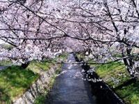虚空蔵谷川の桜