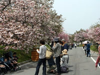 The Cherry Blossoms of Flower Avenue (Japan Mint Hiroshima Branch)