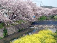 桜土手の桜並木