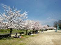 石手川緑地の桜