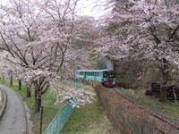やながわ希望の森公園の桜