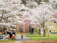 佐白山ろく公園の桜