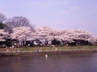水元公園の桜