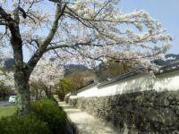 日吉大社付近(日吉馬場)の桜