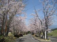溝辺上床運動公園の桜