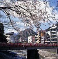 箱根湯本の桜