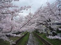 住吉ざくらの桜