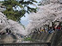 夙川河川敷緑地の桜