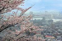 高塔山公園の桜