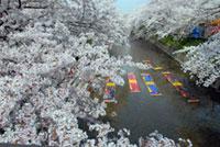 【開催中止】岩倉桜まつり