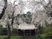 三嶋神社の桜