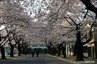 川越女子高校前の桜