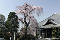 栄林寺の桜