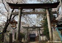 川越 熊野神社の桜