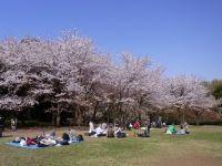 四季の森公園の桜