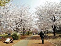 西東京いこいの森公園の桜