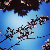 真間川沿い桜並木