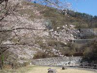 渡良瀬公園の桜