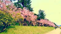 下鴨半木の道の桜
