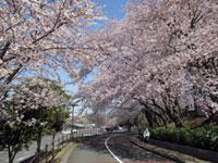 県立保土ケ谷公園の桜