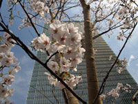 The Cherry Blossoms of Akasaka Sacas