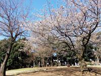 蚕糸の森公園の桜