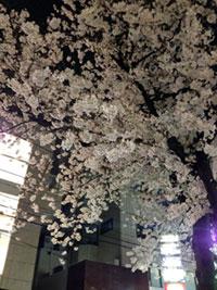 九品仏川緑道(自由が丘)の桜