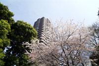 御殿山トラストシティ・御殿山庭園の桜