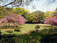 The Cherry Blossoms of Kiyosumi Gardens