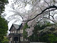 旧古河庭園の桜