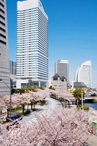 みなとみらい さくら通りの桜