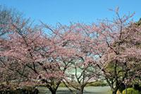 千葉県立青葉の森公園の桜