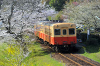 小湊鉄道の桜
