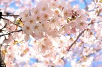 柏尾川プロムナードの桜