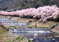 宮城野 早川堤の桜