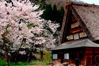 白川郷の桜の写真