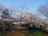 城山公園(佐野城跡)の桜
