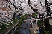 二ヶ領用水(宿河原堤桜並木)の桜