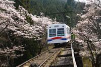 八瀬周辺・叡山ケーブル・ロープウェイの桜