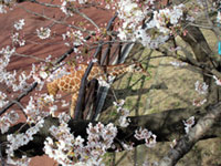 野毛山動物園(野毛山公園)の桜