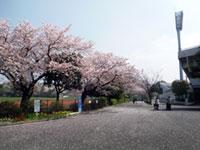 三ツ沢公園の桜