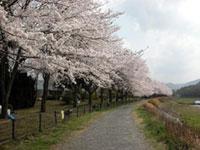 亀岡運動公園の桜