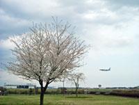 三里塚さくらの丘の桜