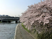 鴨川河川敷 花の回廊の桜