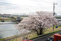多摩川河川敷(第三京浜~丸子橋)の桜