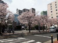 染井吉野桜記念公園(駒込駅前)の桜